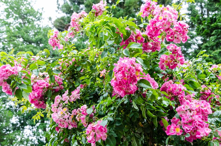 American Pillar Elizabeth Park Rose Garden 3