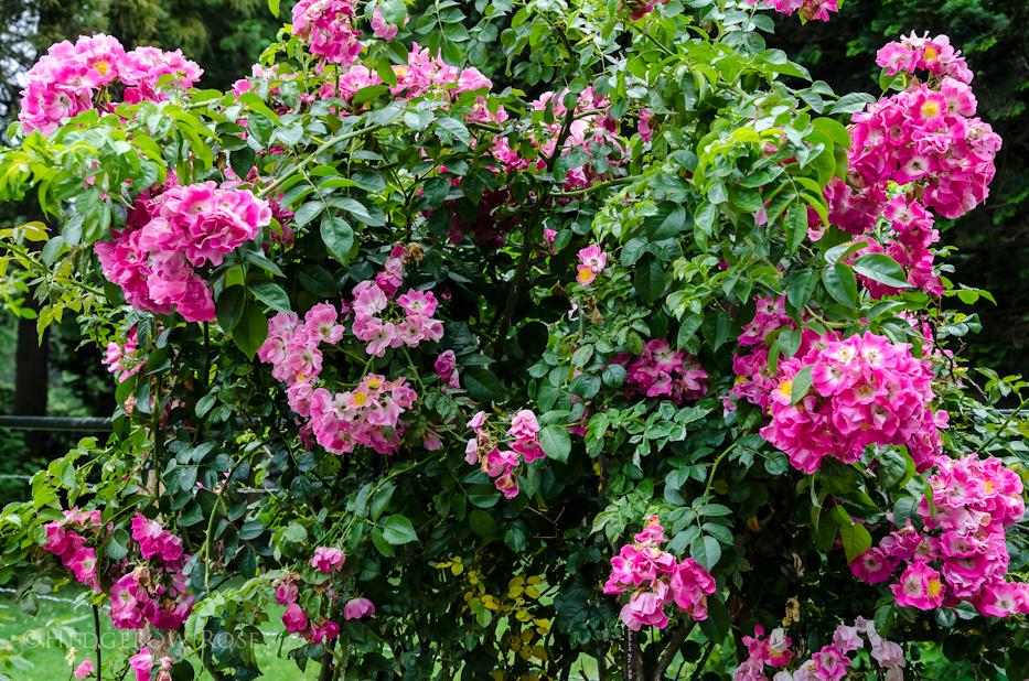 American Pillar Elizabeth Park Rose Garden