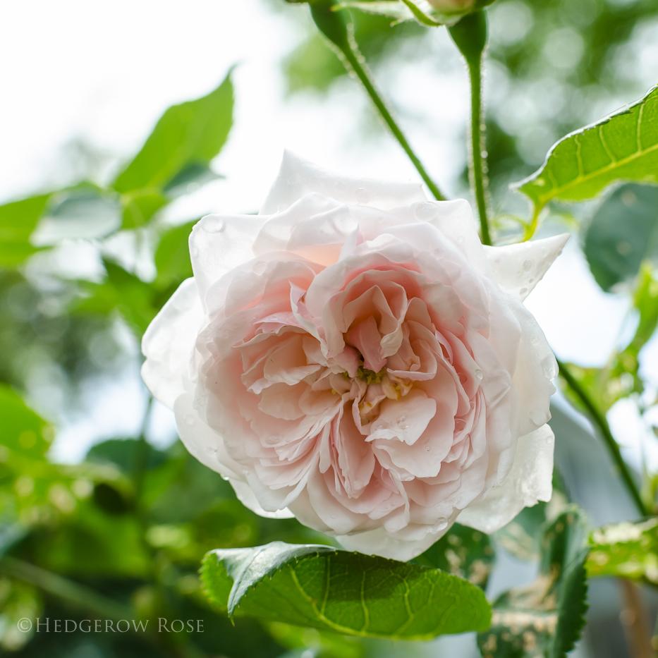 Comtesse de Rocquigny via Hedgerow Rose - 2