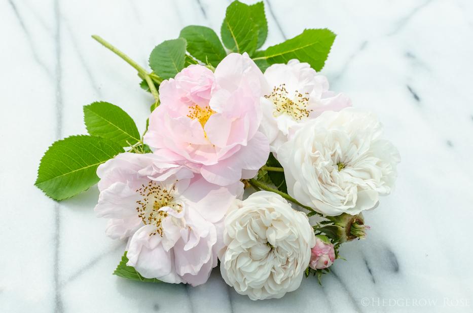 Damask Roses 2 - 2