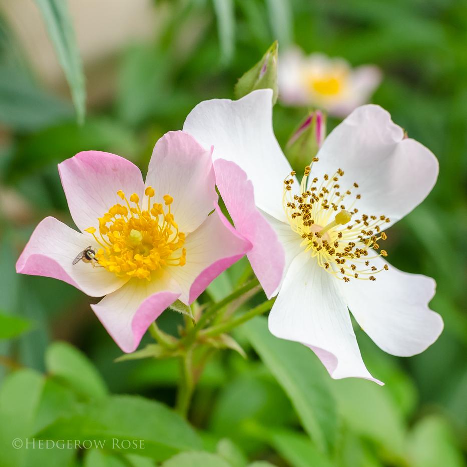 lyda rose 10-14-3