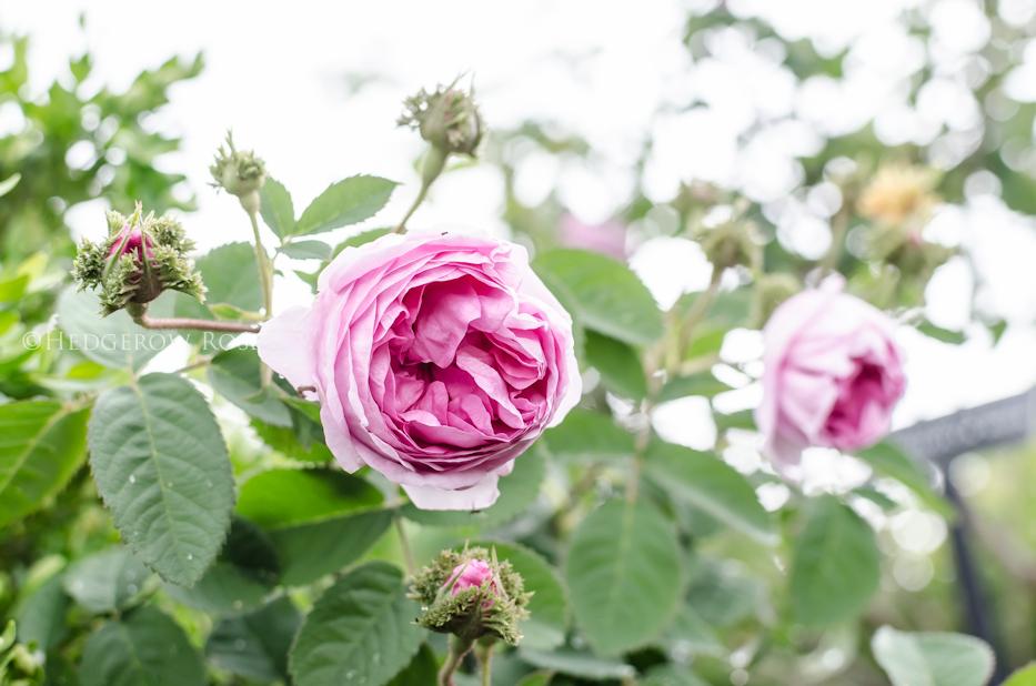 Crested Moss rose via Hedgerow Rose