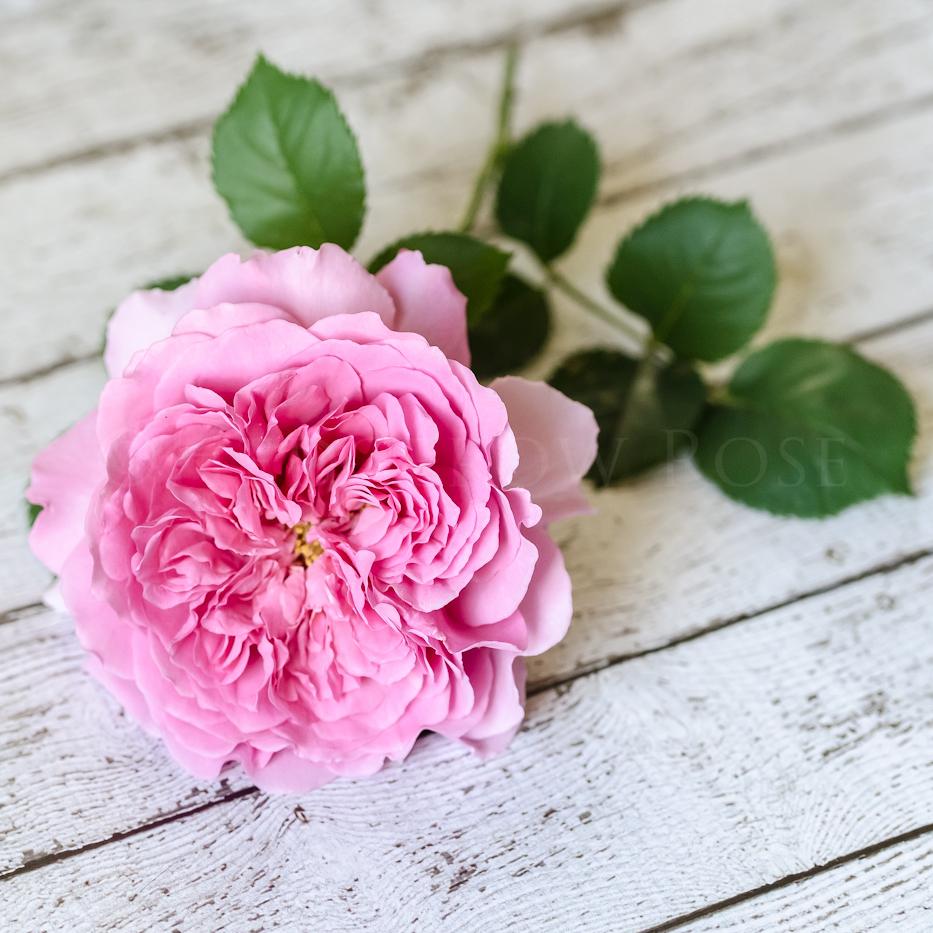 Faded Rose Thumbnail