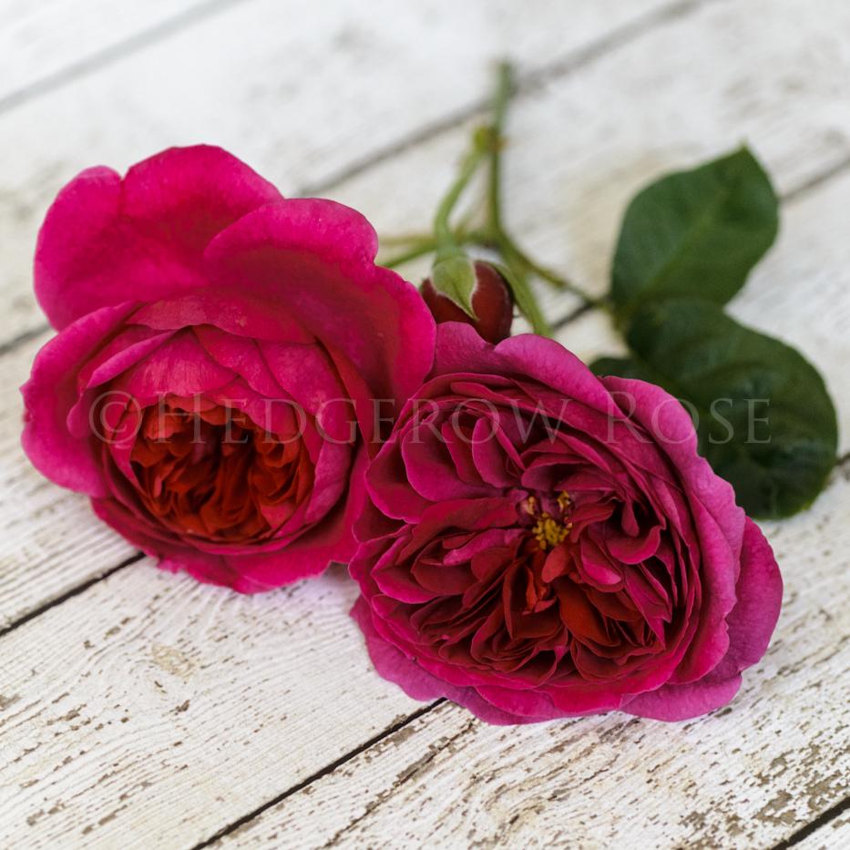 Picket Fence Rose - Magenta Wine