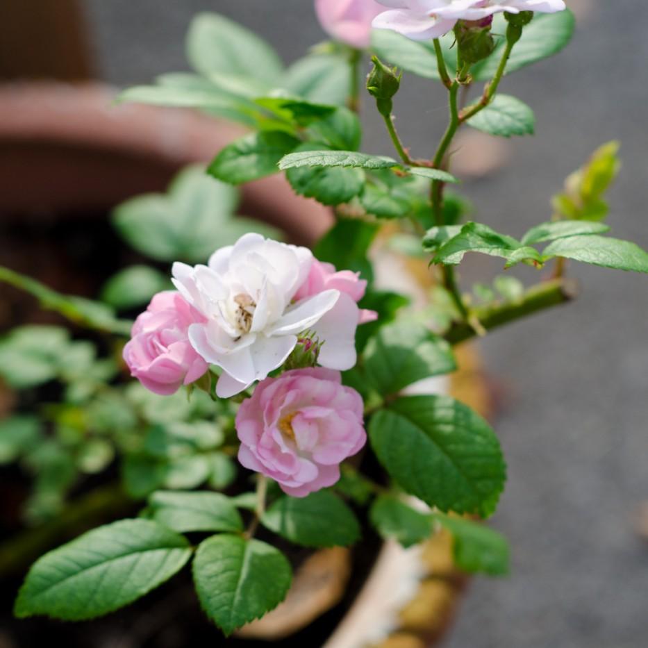 mystery rose 9-12-3-2