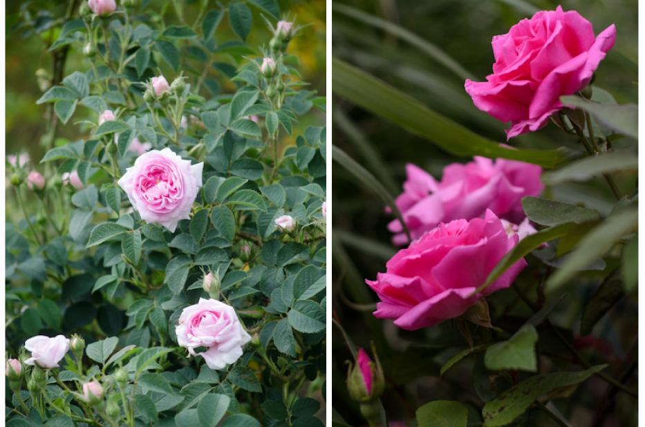 via-Hedgerow-Rose