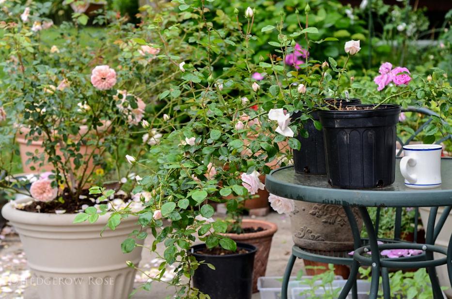 Propagating Roses 6