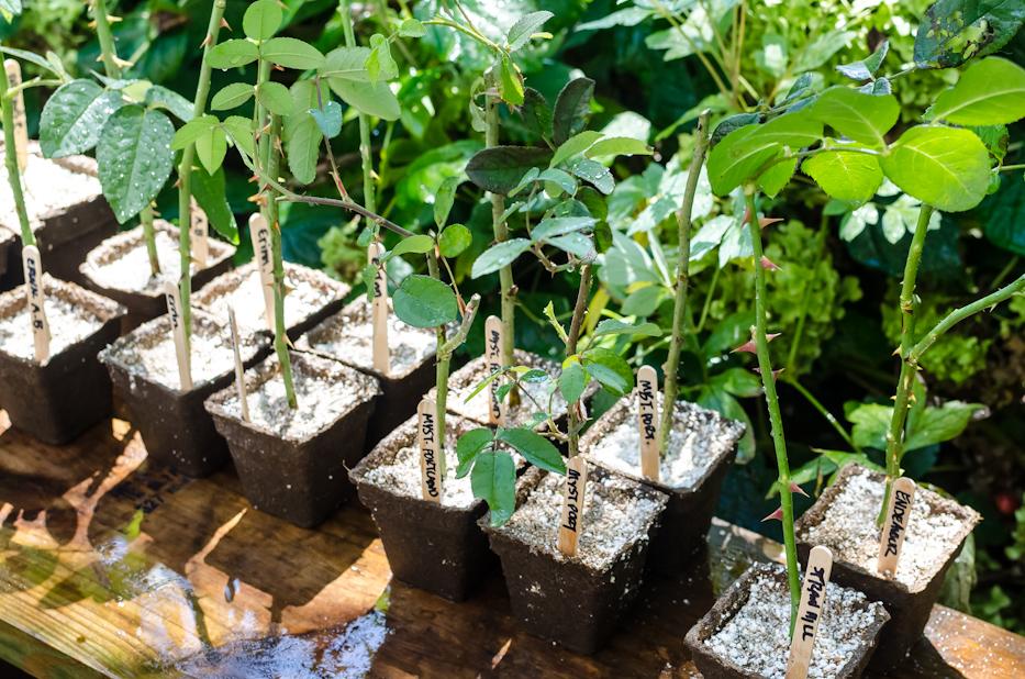 propagating roses 10-17-1