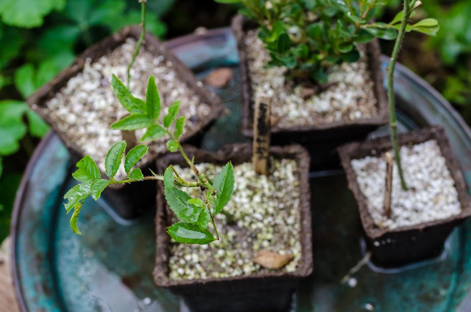 propagating roses 10-18-3