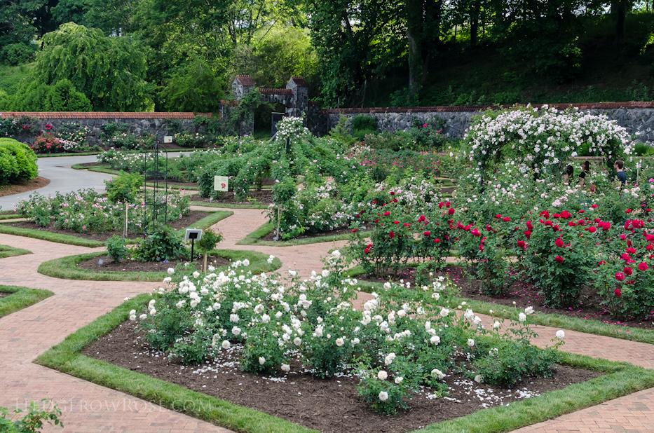 Biltmore Rose Gardens via Hedgerow Rose - 1