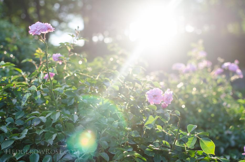 Biltmore Rose Gardens via Hedgerow Rose - 11