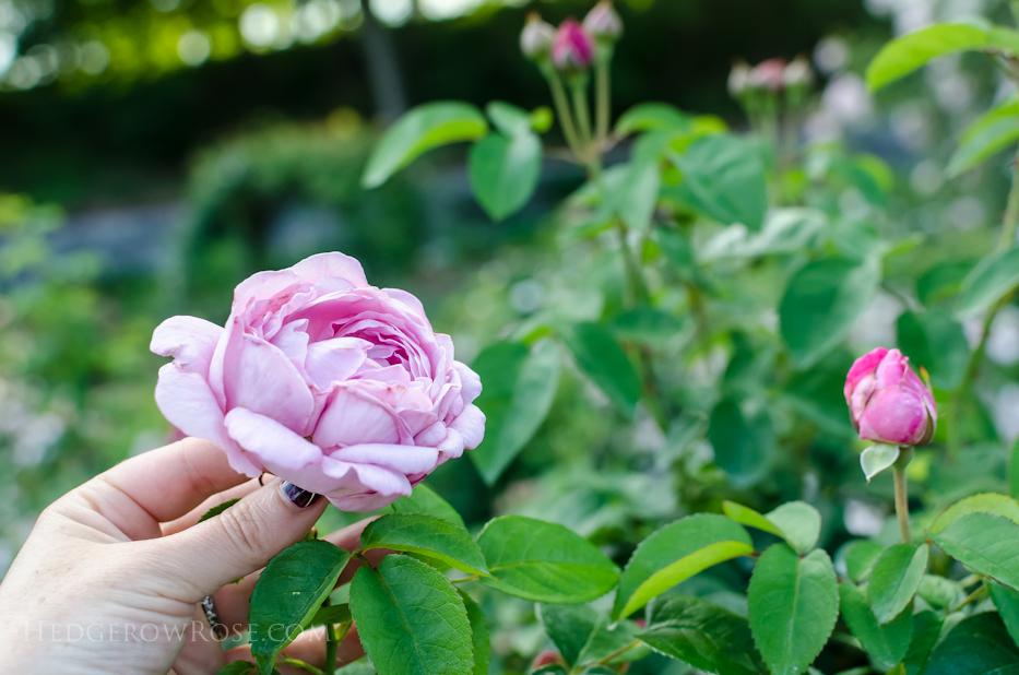 Biltmore Rose Gardens via Hedgerow Rose - 12