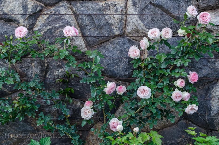 Biltmore Rose Gardens via Hedgerow Rose - 4