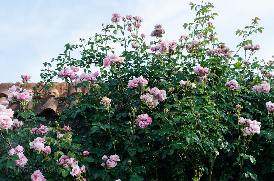 Biltmore Rose Gardens via Hedgerow Rose - 8