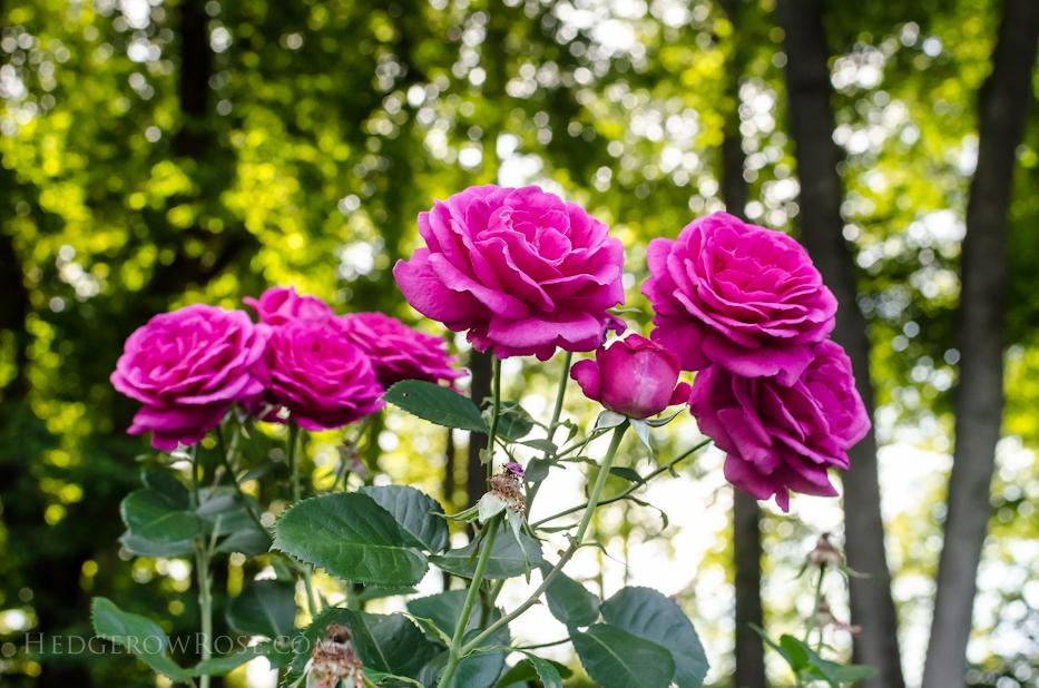 Biltmore Rose Gardens via Hedgerow Rose - Climber No 1327