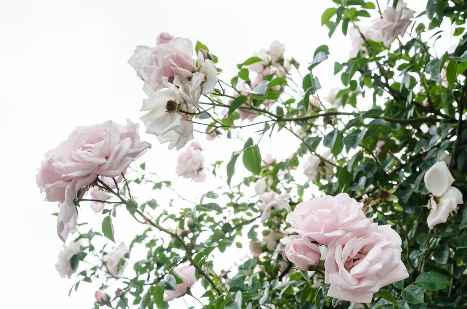 Biltmore Rose Gardens via Hedgerow Rose - New Dawn 2