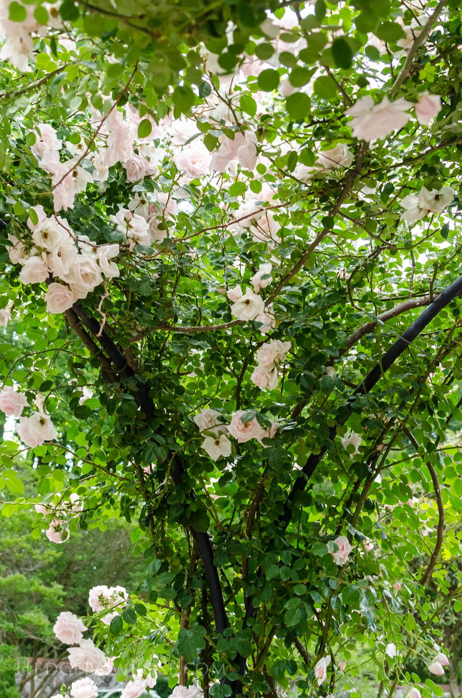 Biltmore Rose Gardens via Hedgerow Rose - New Dawn 3