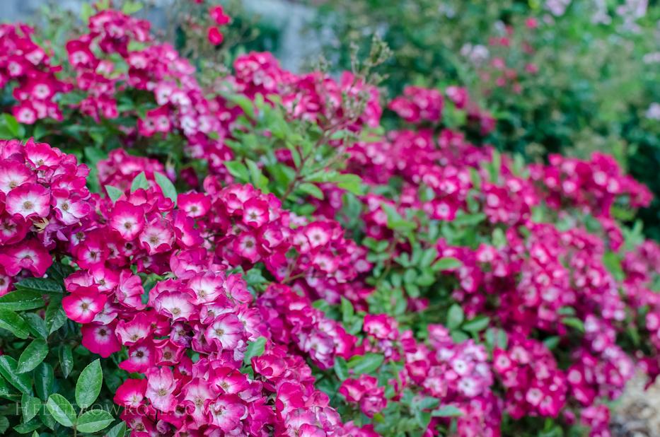 Biltmore Rose Gardens via Hedgerow Rose - No 1328