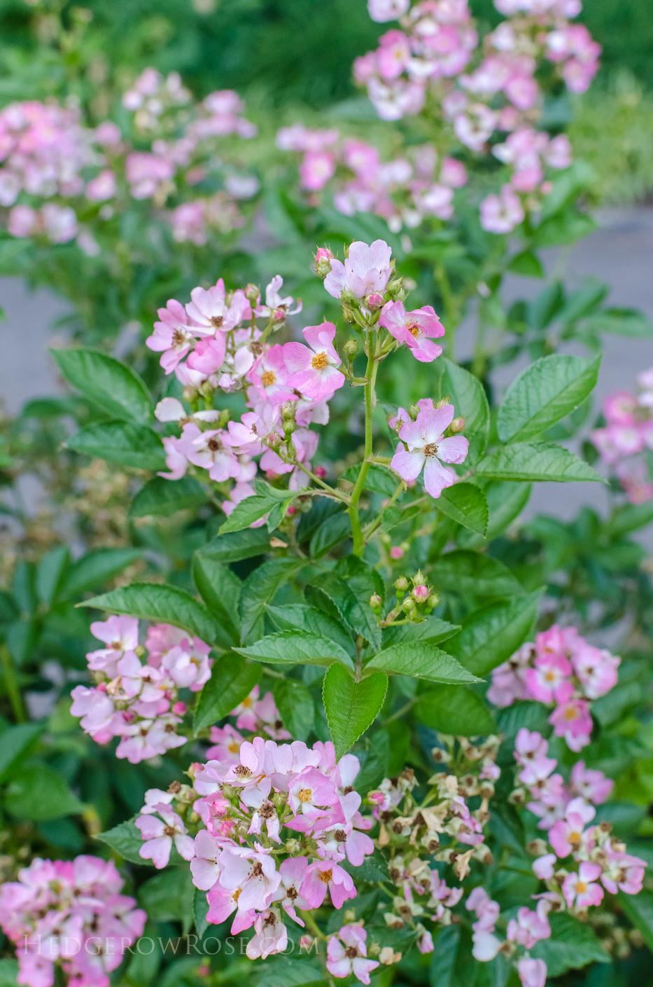 Biltmore Rose Gardens via Hedgerow Rose - Phloxy Baby 2