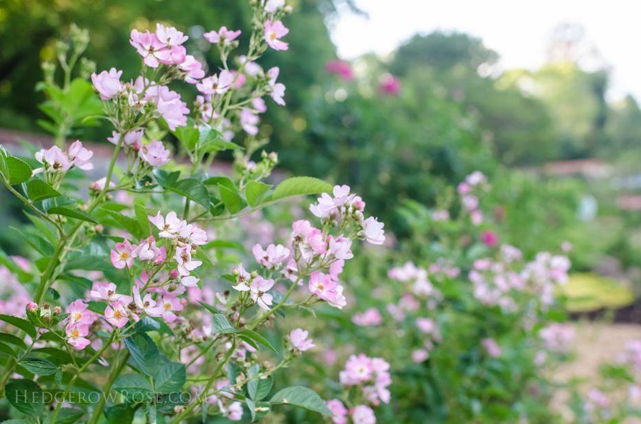 Biltmore Rose Gardens via Hedgerow Rose - Phloxy Baby