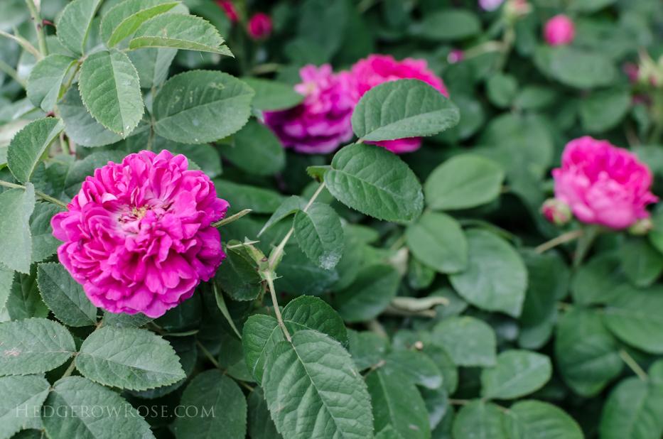 Biltmore Rose Gardens via Hedgerow Rose - Rose de Rescht