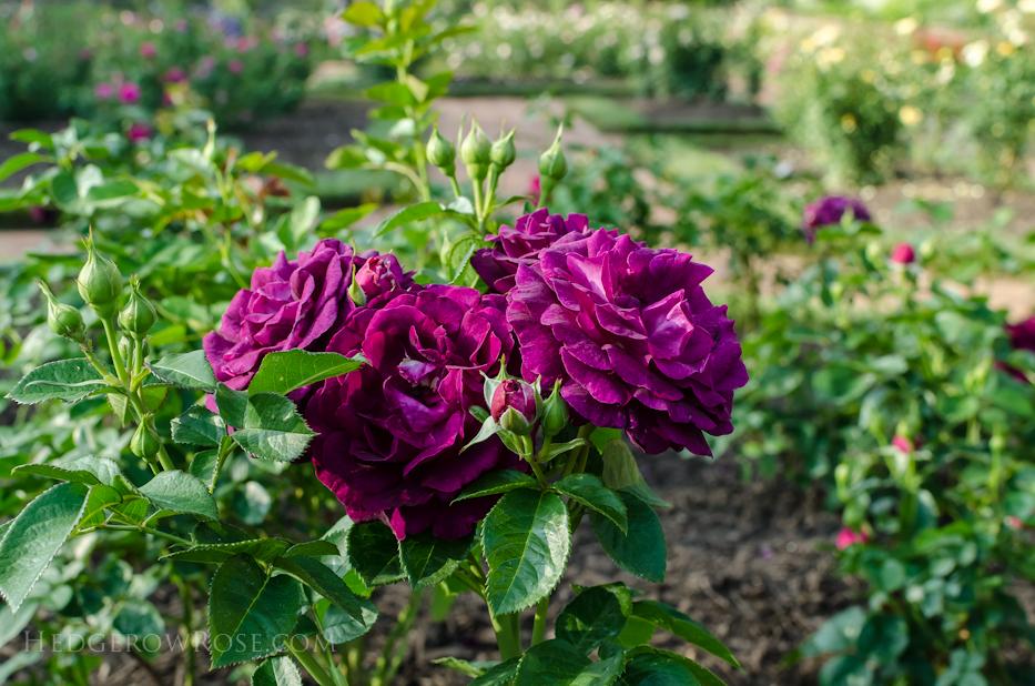 Biltmore Rose Gardens