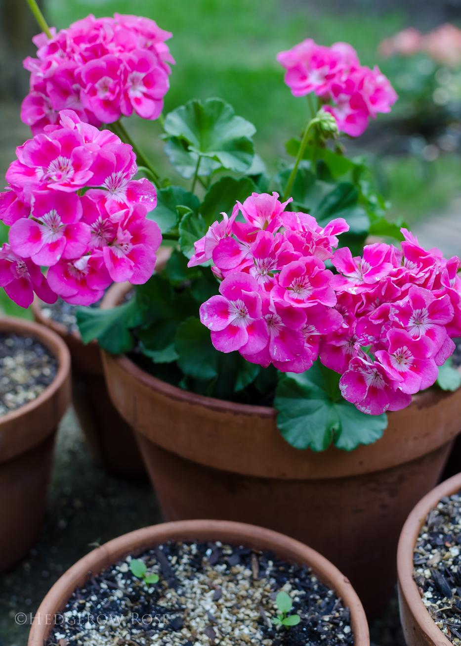 Classic Pink Geranium-Pelargonium