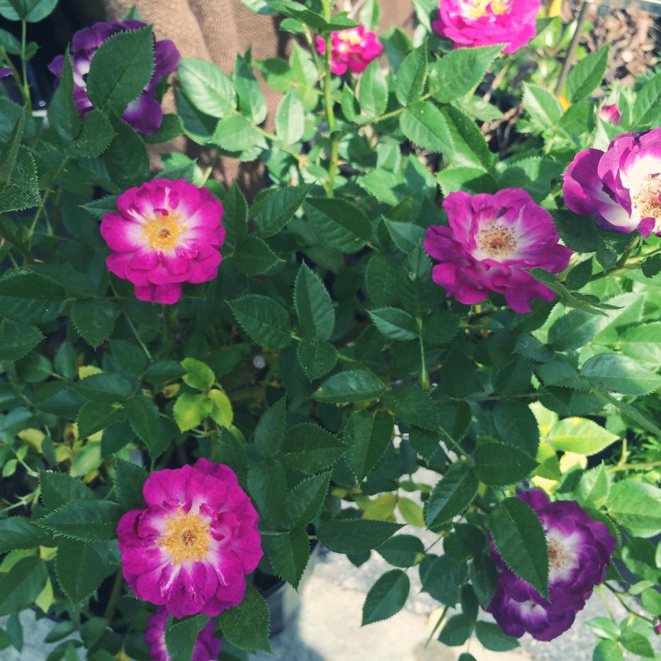 Hendersonville Garden Jubilee 3