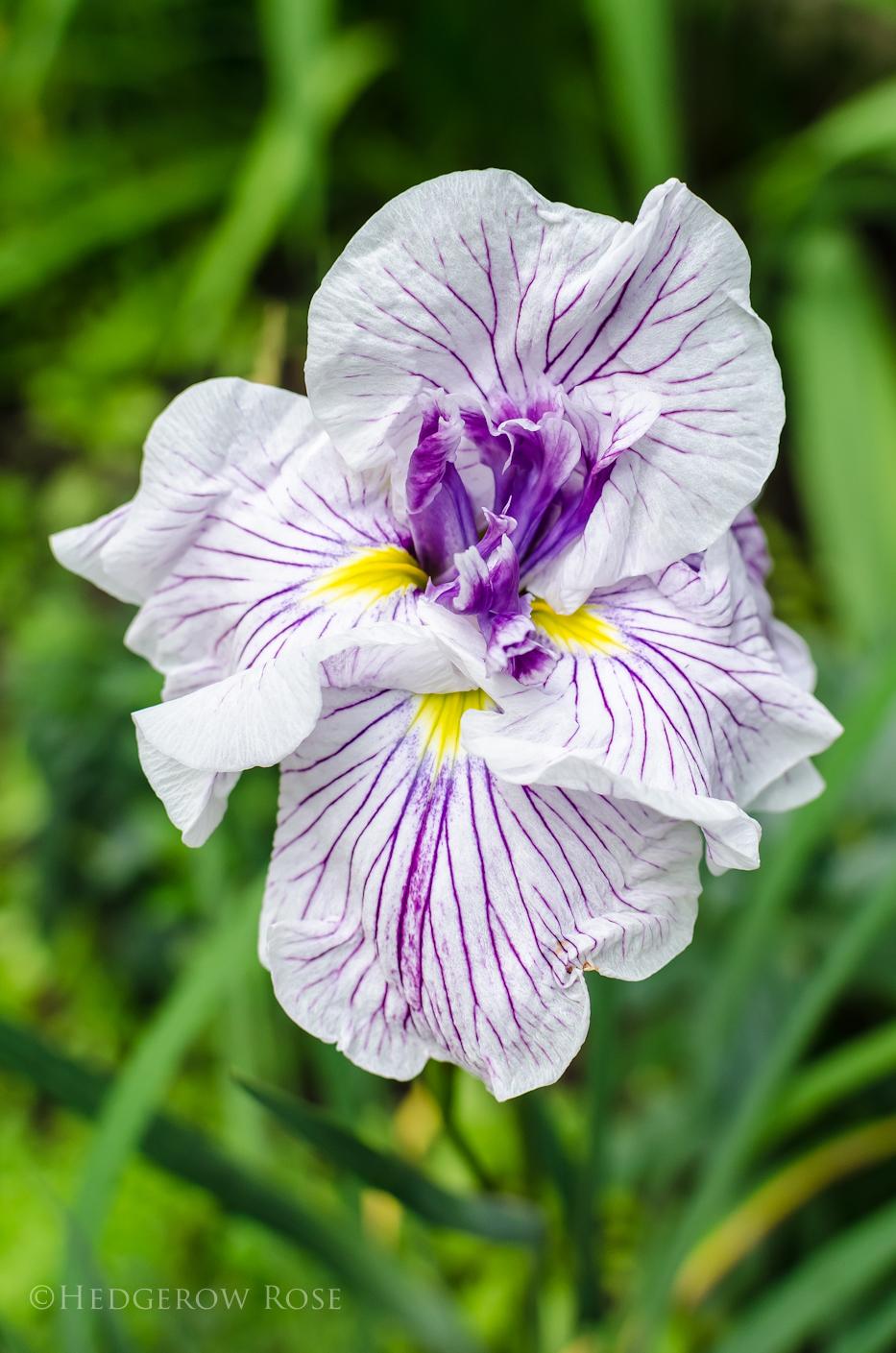 Iris ensata 'Geisha Gown'