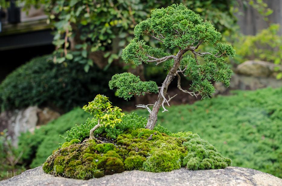 juniperus chinensis var. shimpaku