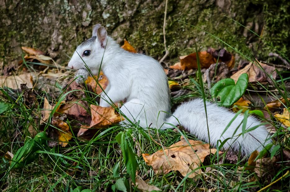 White Squirrels of Western North Carolina via Hedgerow Rose - 1