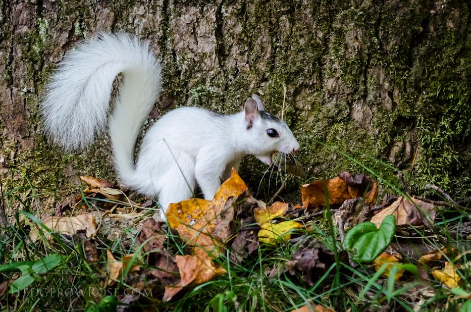 White Squirrels of Western North Carolina via Hedgerow Rose - 2