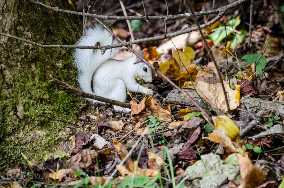 White Squirrels of Western North Carolina via Hedgerow Rose - 3