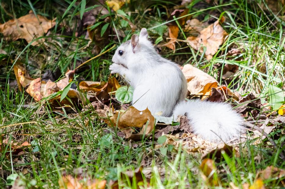 White Squirrels of Western North Carolina via Hedgerow Rose - 4
