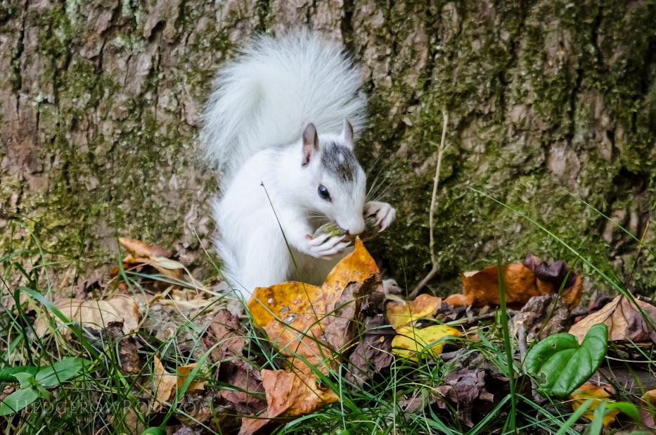 White Squirrels of Western North Carolina via Hedgerow Rose - 7