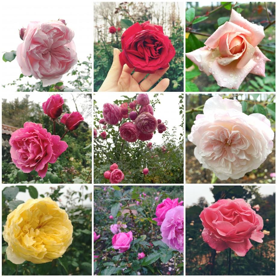 Biltmore roses in November