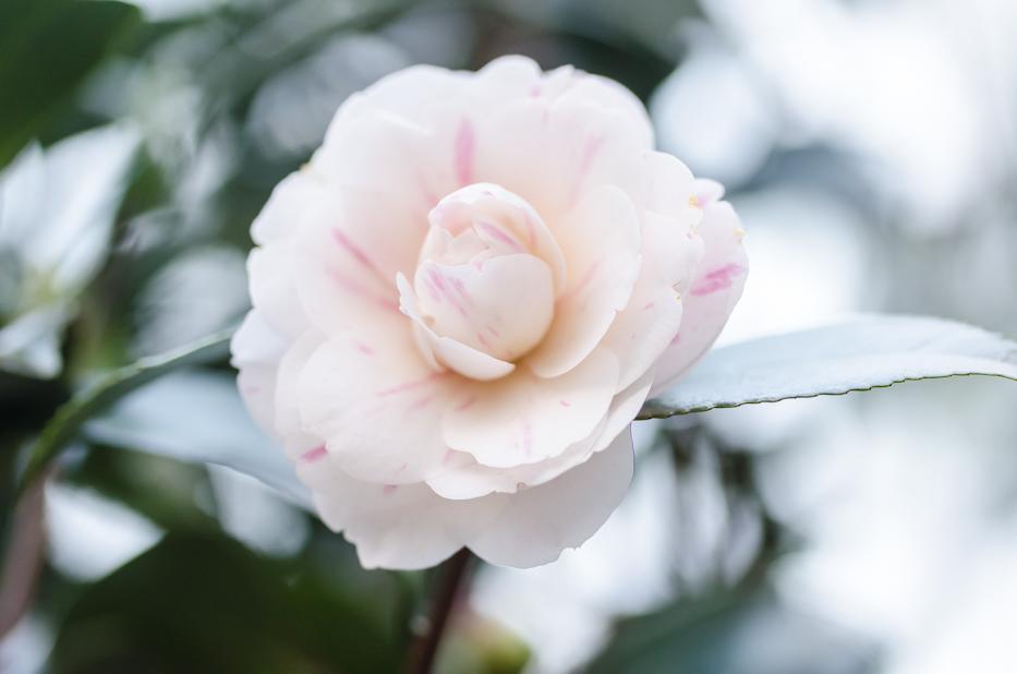 Camellia japonica 'April Dawn' 2