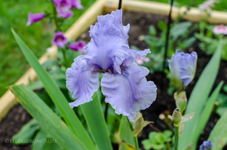 Bearded Iris Rio Vista