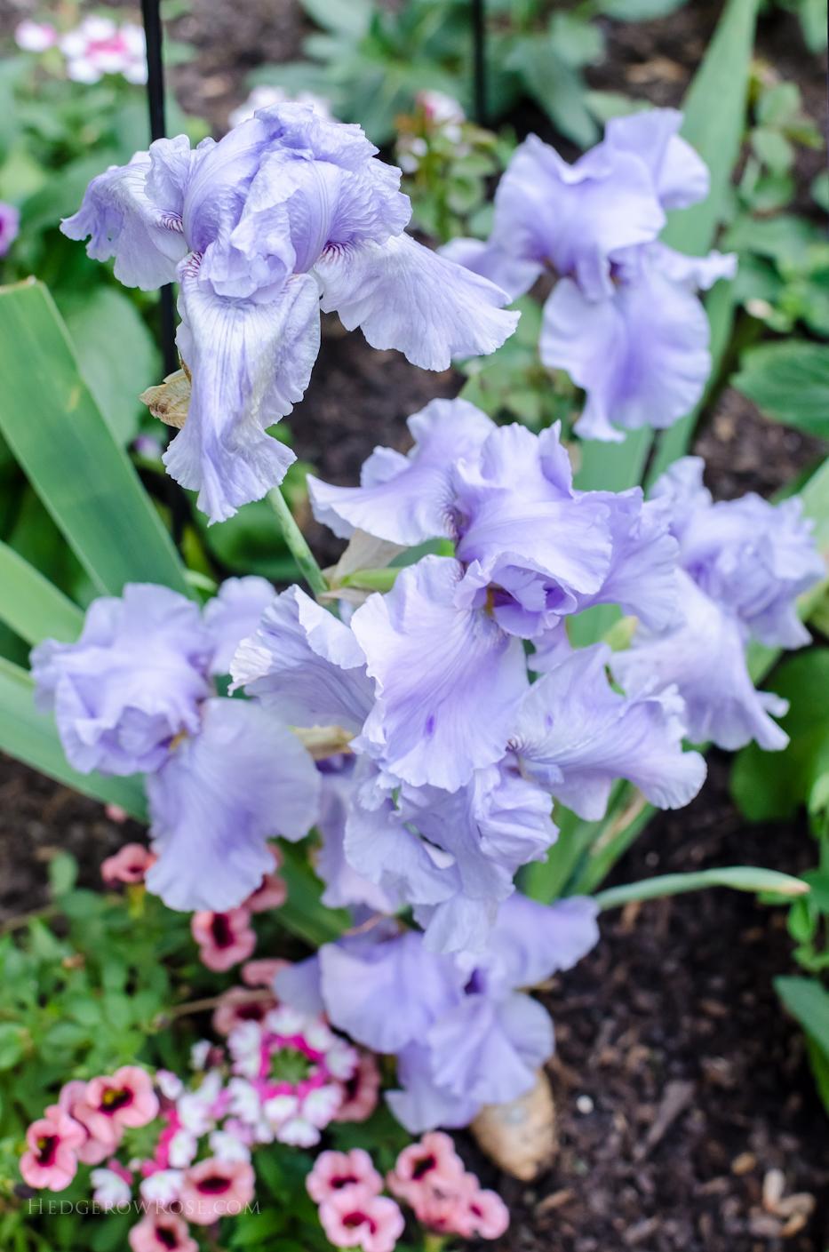 Iris Rio Vista