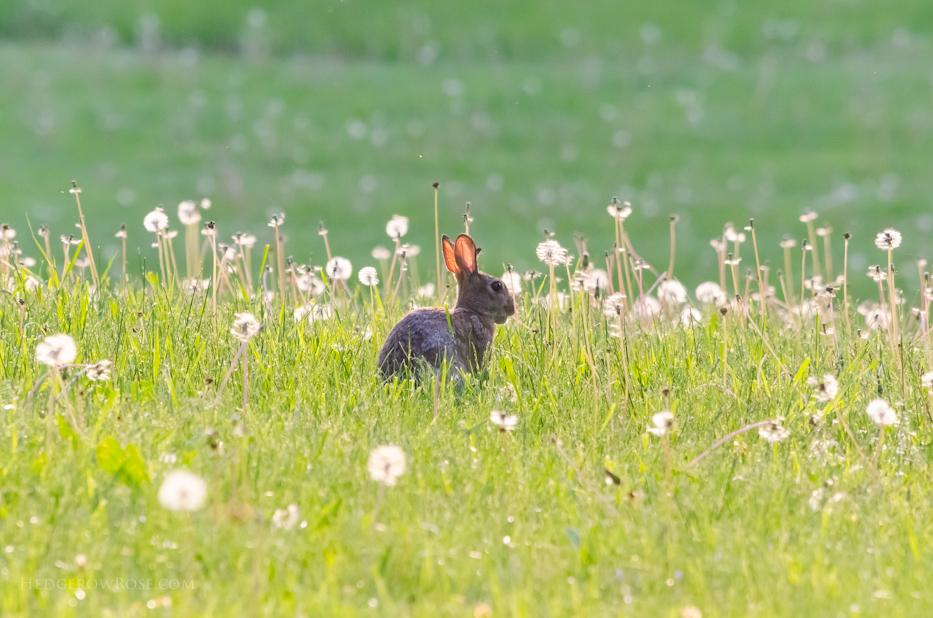 cottontail rabbit in field of dandelions