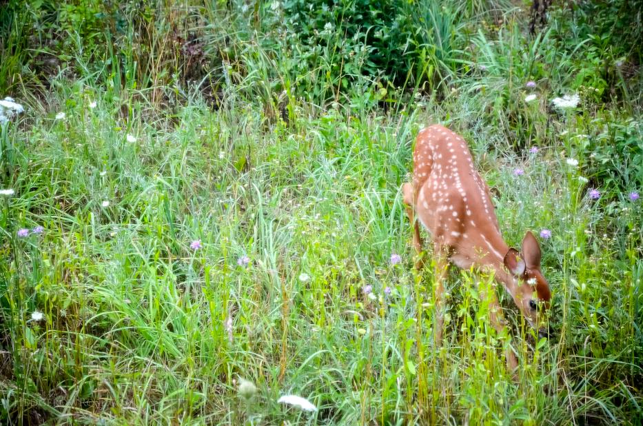 foraging fawn