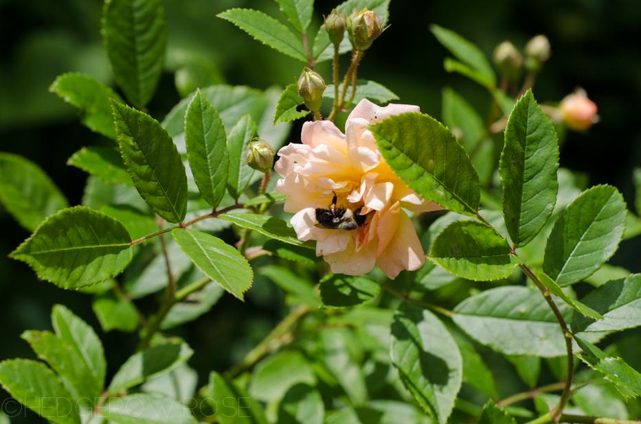 ghislaine de féligonde rose and bee