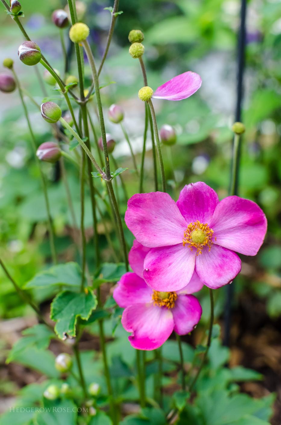 pink anemone 2015