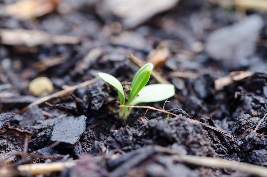 seedling scabiosa