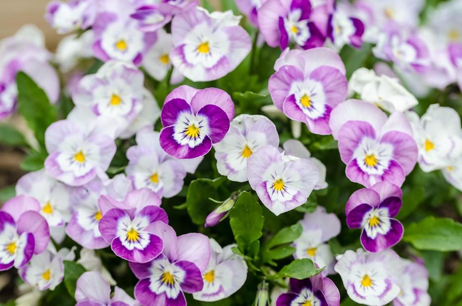 sorbet violas pink halo