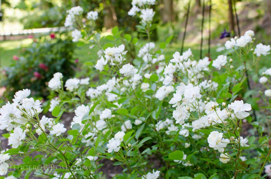 garden 5-17-11