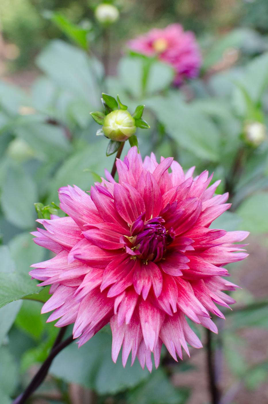 dahlia sonic bloom