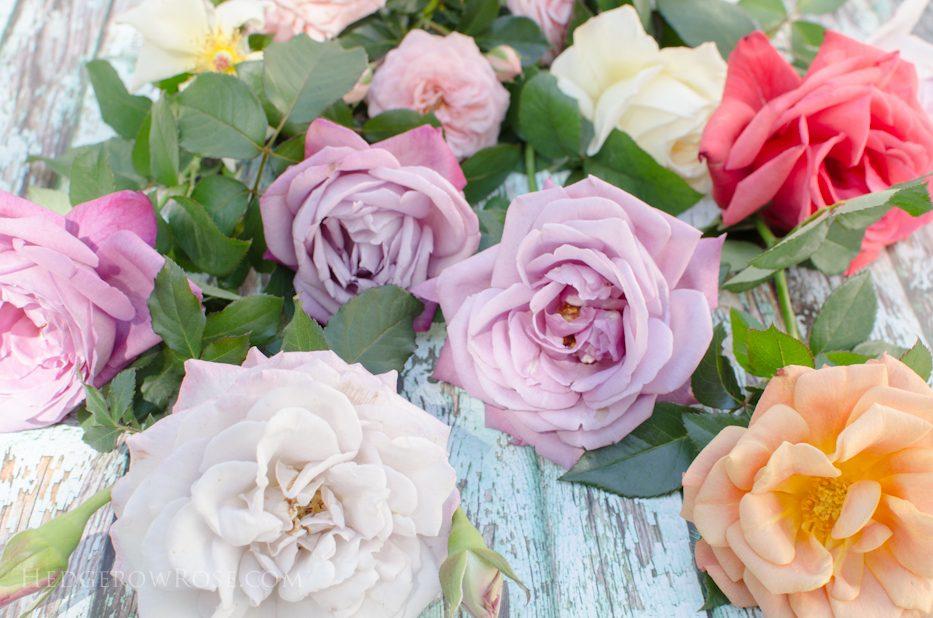 fragant-roses