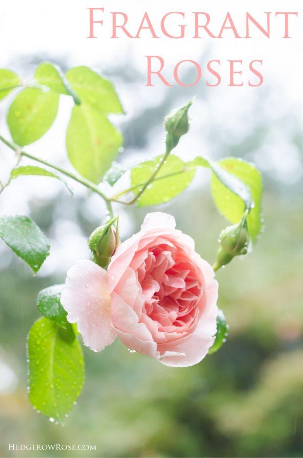 fragrant-roses