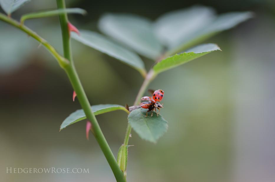 ladybug-october-16